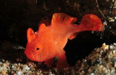 Tiny frogfish by Scott Gietler