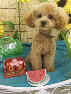 Image result for toy poodles in a teddy bear