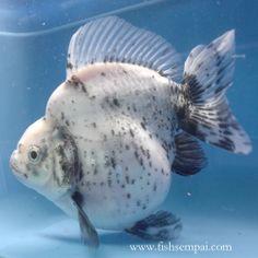 Ryukin Ryukin Goldfish, Comet Goldfish, Goldfish Pond, Tetra Fish, Betta Fish Types, Freshwater Aquarium Fish, Koi Carp, Beautiful Fish, Exotic Fish