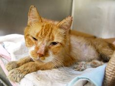"""TOBIN - A1088723 - - Manhattan   ***TO BE DESTROYED 09/10/16*** TOBIN IS THE SWEET GUY THAT MAY BE DIABETIC… He's a 12 YEAR old fellow who was discovered by the Finder 2 days ago but could not bring him to the shelter until today…how nice of them to make him wait just to be put on the """"kill LIST!"""" So NOT! But, in TOBIN'S case, as much as it leaves a bad taste in one's mouth, this guy NEEDED medical care…even the very LITTLE TO"""
