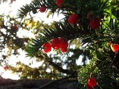 YEW Berries in Autumn