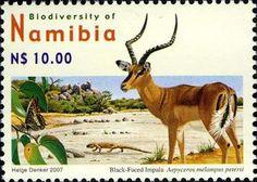 Black-faced Impala (Aepyceros melampus petersi)