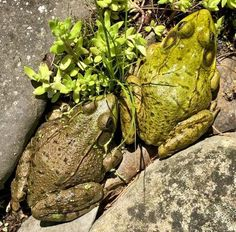THE LIGHT-HEARTED news from Nowheresville as June begins: I am short on garden help these days and long on frogs. [read more…] Chenille Plant, Floating Plants, Columnar Trees, Stone Massage, Trees And Shrubs, Punctuation, Amphibians, News, Frogs