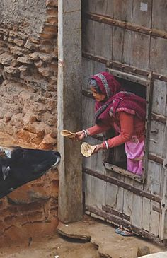 Feeding the cows, India
