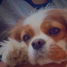 King Charles Dog, King Charles Spaniel, Cavalier King Charles, Cutest Animals, Spaniels, Corner, Creatures, Puppies, Heart