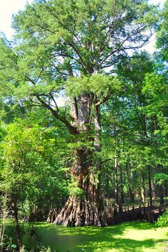 Big Cypress tree in Arkansas -