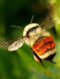 Let's Make Art, Buzzy Bee, I Love Bees, Bees And Wasps, Bee Friendly, Interesting Animals, Beautiful Bugs, Bee Art, Bugs And Insects