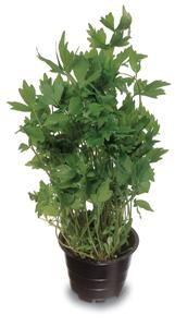Lipstikka Natural Medicine, Shrubs, Perennials, Trees, Gardening, Flowers, Nature, Plants, Naturaleza