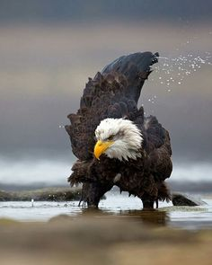 Bald eagle    Photography by © Milan Zygmunt #Wildgeography                                                                                                                                                     More