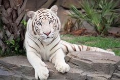 White tiger, animal wallpaper and background. 2k Wallpaper, Animal Wallpaper, Cute Animals With Funny Captions, Cute Baby Animals, Cute Animal Videos, Cute Animal Pictures, White Bengal Tiger, White Tigers, Animal Love Quotes
