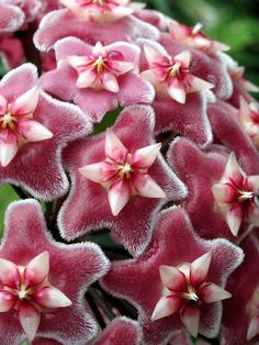 Garden Geeks Plant of the Day Wax Plant (Hoya pubicalyx) Perennial/Houseplant Zone To read more or find a supplier: Unusual Flowers, Unusual Plants, Exotic Plants, Amazing Flowers, Beautiful Flowers, Tropical Flowers, Tropical Plants, Hoya Plante, House Plants
