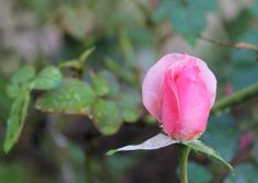 Morning Rose Photo by Julie W. -- National Geographic Your Shot