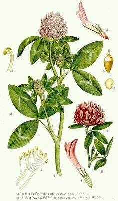 Red Clover Herb Uses, Side Effects and Benefits