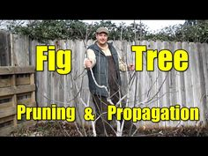 How To Growing, Planting and Pruning Figs tree - Gardening Tips - YouTube
