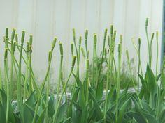 Tulip seed.