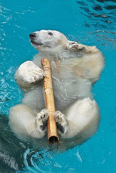 Polar Bear playing with a bamboo stick. SOOO CUTE!!!