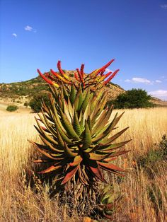 Aloe marlotii in flower July 2016 Cacti And Succulents, Cactus Plants, Africa Painting, African Plants, Ground Cover Plants, Plant Images, Garden Borders, Plant Species, Flower Photos