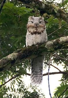 Potoo in a Tree
