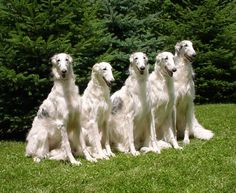silken windhound - Google Search