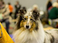 Collie at the Geneva International Dog Show November 2013