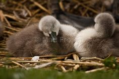 Swan Photo, Fine Art Photographic Print - 'All Tuckered out' - Baby Swans, Cygnets, Fluffy Ducks, Irish Nature photography UNFRAMED Baby Swan, Giving Up On Life, Beautiful Swan, Swans, Photographic Prints, Ducks, Irish, Nature Photography, Fine Art