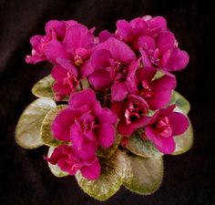 Miniature African Violet  Rob's Love Bite--My favorite because the leaves are as pretty as the blooms