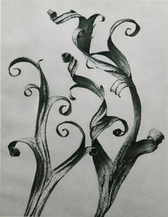 "Delphinium, from ""Urformen der Kunst"" [""Art Forms in Nature""] by Karl Blossfeldt, edition Karl Blossfeldt, Max Ernst, History Of Photography, Nature Photography, White Photography, Perfumes Loewe, Natural Form Art, Natural Design, In Natura"