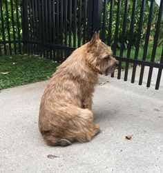 This is NOT A Toto dog— it is a Norwich Terrier. Toto was a Cairn Terrier, for those of you curious.