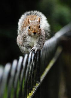 POHLEDNICE VEVERKA POPELAVÁ (VOJTA HEROUT) postcard Squirrels, Bird, Animals, Chipmunks, Animales, Animaux, Birds, Animal, Animais