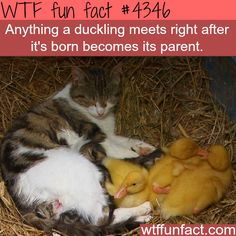 Duckling facts - WTF fun facts
