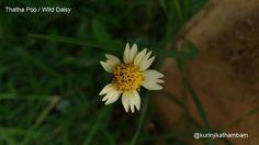 Flowers from My Cam : 1. Thatha Poo / Wild Daisy ~ Kurinji Kathambam