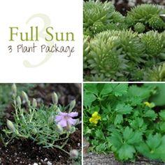 Full Sun - 3 Plants: Sempervivum arenarium - Miniature Hens and Chicks, Saponaria x oliviana - Miniature Soapwort, Potentilla crantzii 'Pygmaea'- Pygmy Potentilla