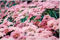 Looks like Sweet William, I love it! Gardens, My Love, Sweet, Flowers, Red, Pink, Candy, Outdoor Gardens, Royal Icing Flowers