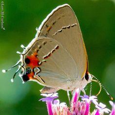 Gray hairstreak on tall verbena #butterflies