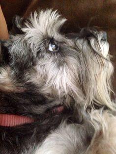 Schnauzer puppy love