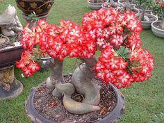 Aliexpress.com: Compre 15 pcs rosa roxo vermelho Yellow Black misturado Adenium obesum Desert Rose Bonsai sementes de flores vasos plantadores de confiança rosa vermelha de sementes fornecedores em Sunshine Garden&Home CO.,LTD