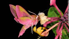 """Elephant Hawkmoth Drinking Nectar from Wild Honeysuckle Flower at Night"" -- elephant hawkmoth, Ewelme, Oxfordshire. Photograph by Malcolm Schuyl for the British Wildlife Photography Awards 2013, shown in the category hidden Britain"