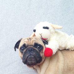 meet-norm-the-pug-12. My Pug has a Lambchop too!