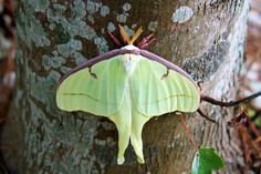 actias luna - luna moth