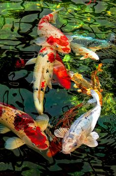 """Koi fish are the domesticated variety of common carp. Actually, the word """"koi"""" comes from the Japanese word that means """"carp"""". Outdoor koi ponds are relaxing. Koi Fish Drawing, Fish Drawings, Pond Drawing, Koi Fish Pond, Fish Ponds, Coi Fish, Coy Pond, Koi Art, Fish Art"""