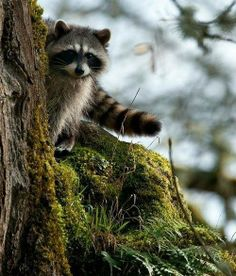 Cute Raccoon, love them