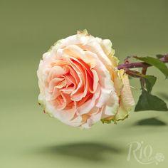 Rio Roses: Rio Peach Finess
