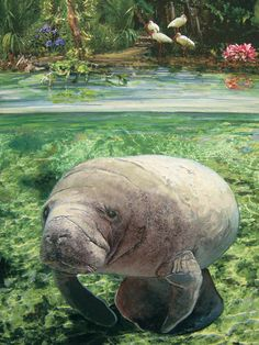 You'll have hours of fun working on this puzzle with a beautiful manatee image by marine wildlife artist William Bock. Vero Beach Disney, Vero Beach Florida, Florida Vacation, Florida Travel, Florida Trips, Manatee Images, Hutchinson Island Florida, Winter Family Vacations, Manatee Florida