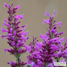 Exclusive. Agastache Ava is one of High Country Gardens very best introductions, renowned for its tall spikes of deep rose-pink flowers held by raspberry-red calyxes.This vigorous hybrid Hummingbird Mint blooms for many months beginning in mid-summer. Drought resistant/drought tolerant perennial plant (xeric).