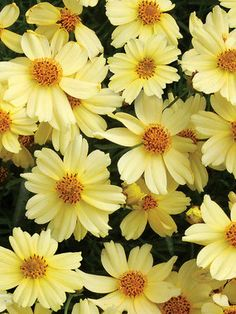 Coreopsis Moonlight Long Blooming Beauty Thrives On Heat And Humidity Profuse Clear Pastel Yellow