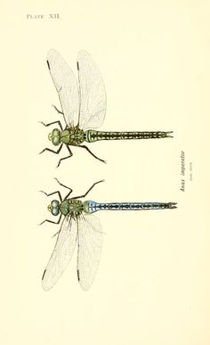 British dragonflies  (1900) - Biodiversity Heritage Library