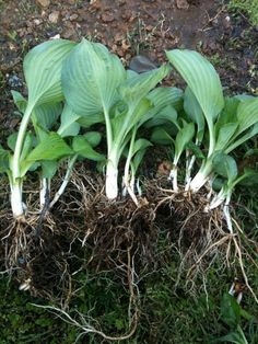 to thin, divide, and propagate overgrown hosta plants. How to thin, divide, and propagate overgrown hosta plants - I just bought three different hosta varieties and need this for future reference Hosta Plants, Shade Plants, Garden Plants, Vegetable Garden, Garden Totems, Garden Yard Ideas, Lawn And Garden, Garden Landscaping, Landscaping Ideas