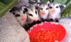 OMG so CUTE! Baby Opossums Eating Watermelon is the Cutest Thing You Will See All Day (VIDEO)