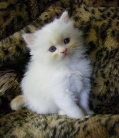 Ragamuffin kitten!  I want one for my bday...in about 2 years. =D