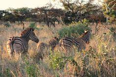 A Burchell's Zebra (now called Plains Zebra) family walking in the afternoon sunlight. Plains Zebra, Zebras, Sunlight, Safari, Wildlife, Walking, Stripes, Animals, Animales